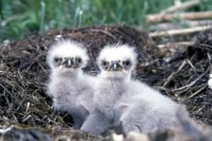 6Bald-eagle-chicks-Menke-Dave-usfws